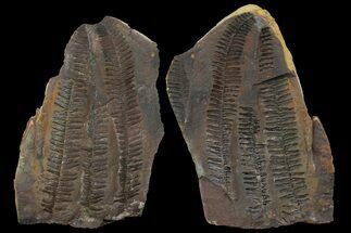 "Buy 5.6"" Pecopteris Fern Fossil (Pos/Neg) - Mazon Creek - #113206"