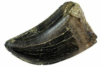 "Buy Serrated, .75"" Small Theropod (Raptor) Tooth - Montana - #113623"