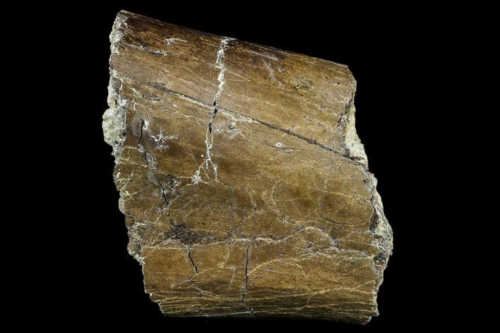 "5.1"" Hadrosaur (Edmontosaurus) Bone Section - South Dakota"
