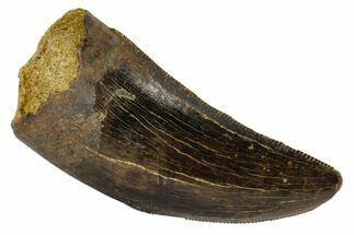 "Buy Serrated, 1.49"" Tyrannosaur Tooth - Judith River Formation, Montana - #114007"