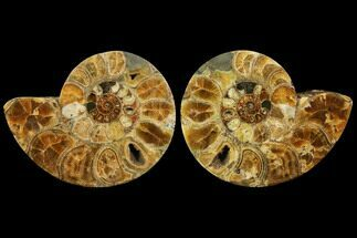 "Buy 11.7"" Honey-Orange Ammonite (Argonauticeras) - Befandriana, Madagascar - #113740"