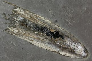 "11.0"" Fossil Squid With Preserved Ink Sack - Posidonia Shale, Germany For Sale, #114215"