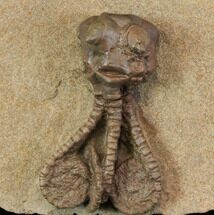 "Buy 2.1"" Fossil Crinoid (Jimbacrinus) - Gascoyne Junction, Australia - #114433"