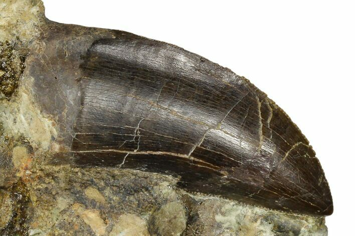 "Serrated, 1.81"" Tyrannosaur Tooth in Rock - Montana"