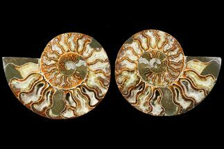 Cleoniceras - Fossils For Sale - #115311
