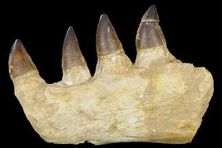 "9.5"" Mosasaur (Prognathodon) Jaw Section - Morocco For Sale, #115784"