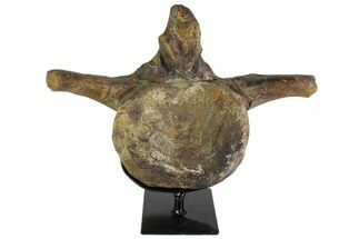 "14"" Hadrosaur (Hypacrosaur) Vertebra With Stand - Montana For Sale, #116288"