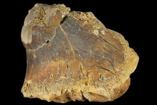Unidentified - Fossils For Sale - #116730