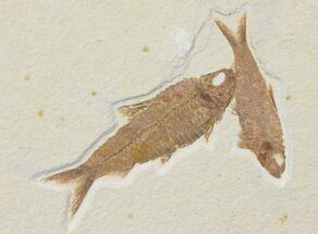 Buy Two Beautiful Fossil Fish (Knightia) - Wyoming - #116761