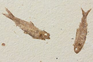 Buy Two Detailed Fossil Fish (Knightia) - Wyoming - #116764