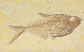 "Buy 4.9"" Diplomystus Fossil Fish - Wyoming - #116770"