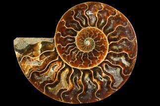 Cleoniceras - Fossils For Sale - #116802