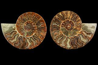 Cleoniceras - Fossils For Sale - #114855