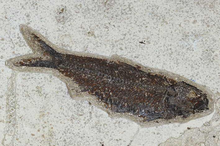 "5.6"" Fossil Fish (Knightia) - Green River Formation"
