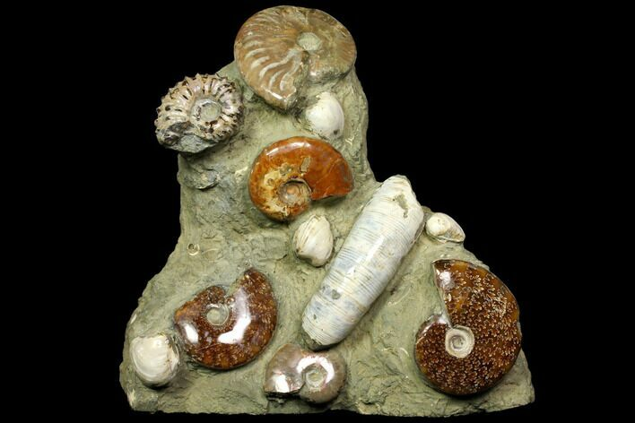 "9.5"" Tall, Composite Ammonite Fossil Sculpture"