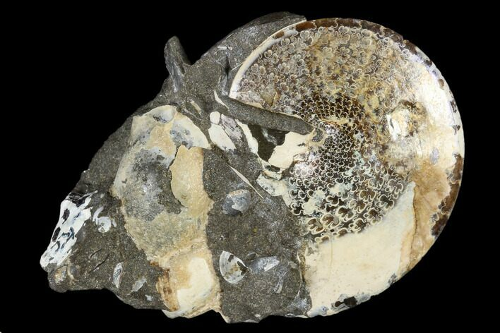 Fossil Ammonite (Sphenodiscus) & Gastropod - South Dakota