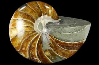 Cymatoceras sp. - Fossils For Sale - #117468