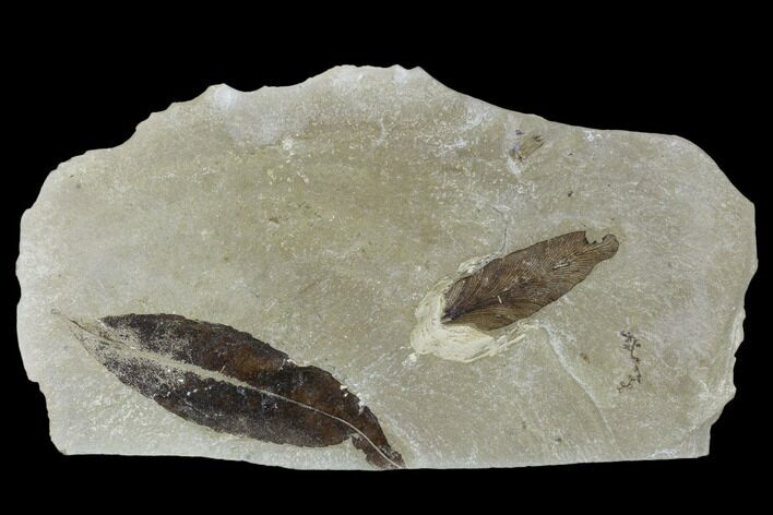 Two Fossil  Leaves (Salix And Lygodium) - Green River Formation, Utah