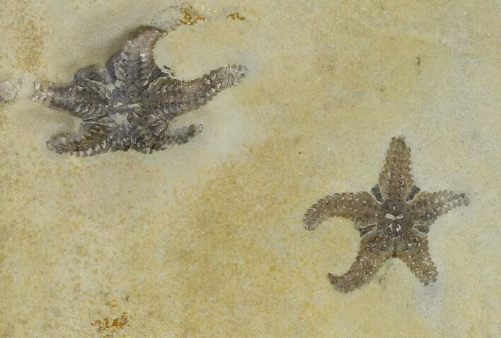 Two Triassic Brittlestar (Aspidura) Fossils - Germany