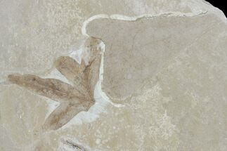 Buy Three Fossil Leaves - Green River Formation, Utah - #118018
