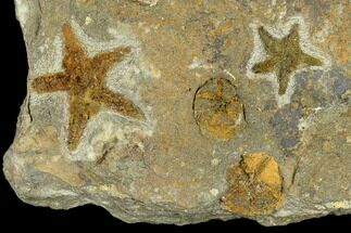 Petraster sp. & Spinadiscus lefebvrei - Fossils For Sale - #118071
