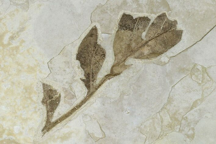"3.9"" Fossil Herb Stem With  Leaves - Green River Formation, Utah"