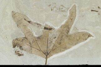 "Buy 4.5"" Fossil Maple (Acer) Leaf - Green River Formation, Utah - #118030"