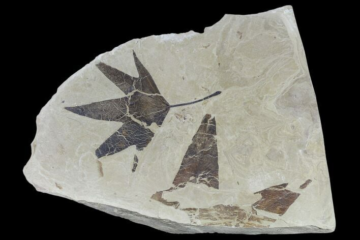 Two Fossil Sycamore Leaves (Platanus) - Green River Formation, Utah