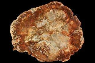Araucaria sp. - Fossils For Sale - #118560