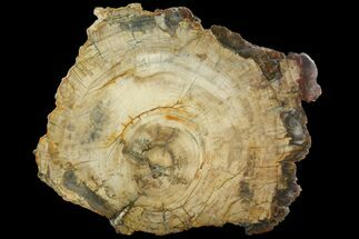 "19.9"" Petrified Wood (Araucaria) Slab - Madagascar  For Sale, #118460"