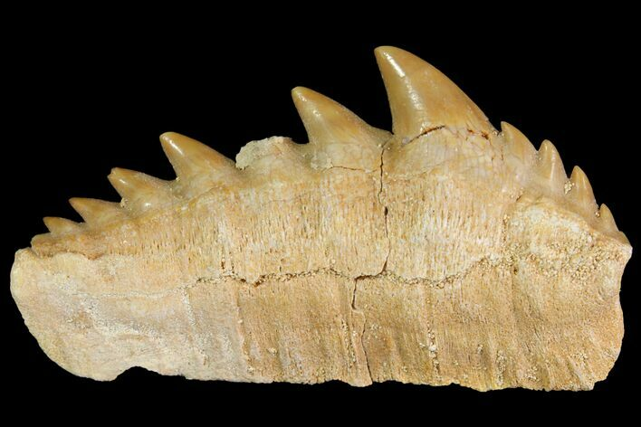 "1.8"" Fossil Cow Shark (Hexanchus) Tooth - Morocco"