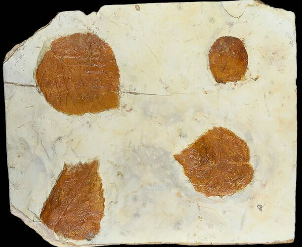 Four Fossil Leaves (Zizyphoides & Davidia) - Montana