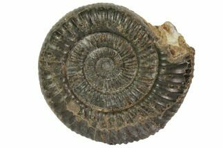 "2.4"" Fossil Ammonite (Dactylioceras) - England For Sale, #119396"