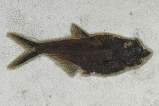 "7.8"" Fossil Fish (Diplomystus) - 18 Inch Layer For Sale, #119468"