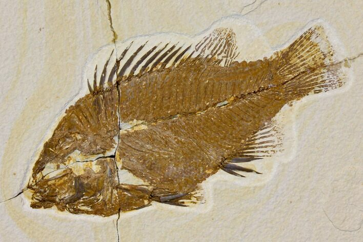 "Bargain, 6.7"" Fossil Fish (Priscacara) - Green River Formation"