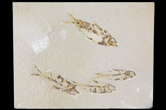 "Buy 9.3"" Fossil Fish Plate (Knightia) - Green River Formation - #119482"