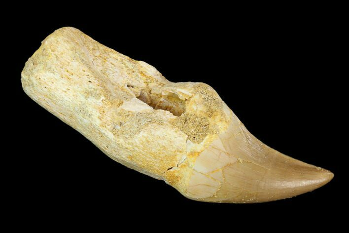 "2.1"" Fossil Rooted Mosasaur (Halisaurus) Tooth - Morocco"