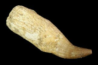 "1.9"" Fossil Rooted Mosasaur (Halisaurus) Tooth - Morocco For Sale, #117023"