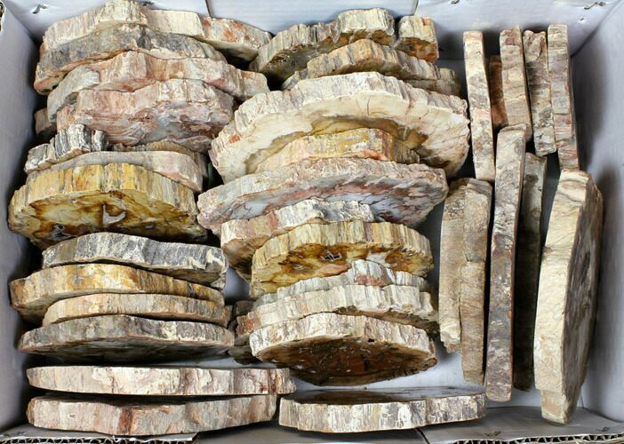 "Wholesale Lot - 3.1 to 5.7"" Petrified Wood Slices - 38 Pieces"