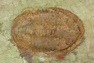 Asaphellus sp. - Fossils For Sale - #120150