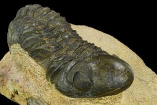 "Bargain, 2.29"" Reedops Trilobite - Foum Zguid, Morocco For Sale, #120074"