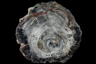 "14.6"" Petrified Wood (Araucaria) Slab - Madagascar  For Sale, #118754"