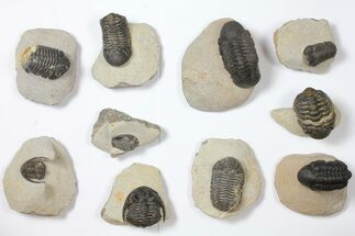 Wholesale Lot: Assorted Devonian Trilobites - 10 Pieces For Sale, #119858
