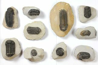 Various - Fossils For Sale - #119901