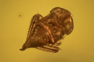 Fossil Cicada Larva, Ant & Flies In Amber For Sale, #120662