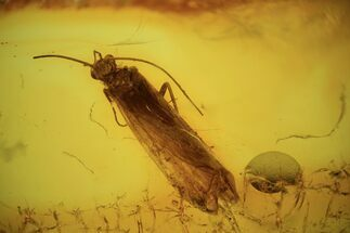 7mm Fossil Caddisfly (Trichoptera) In Baltic Amber For Sale, #120680