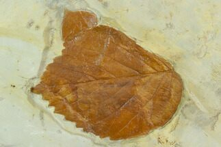 Two Fossil Leaves ( Zizyphoides And Beringiaphyllum) - Montana For Sale, #120770