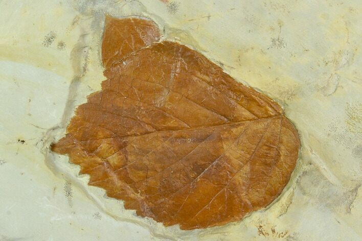 Two Fossil Leaves ( Zizyphoides And Beringiaphyllum) - Montana