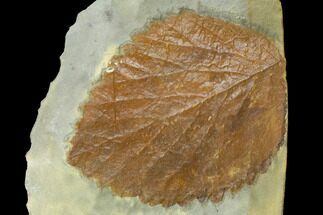 "2.5"" Fossil Leaf (Davidia) - Montana For Sale, #120779"