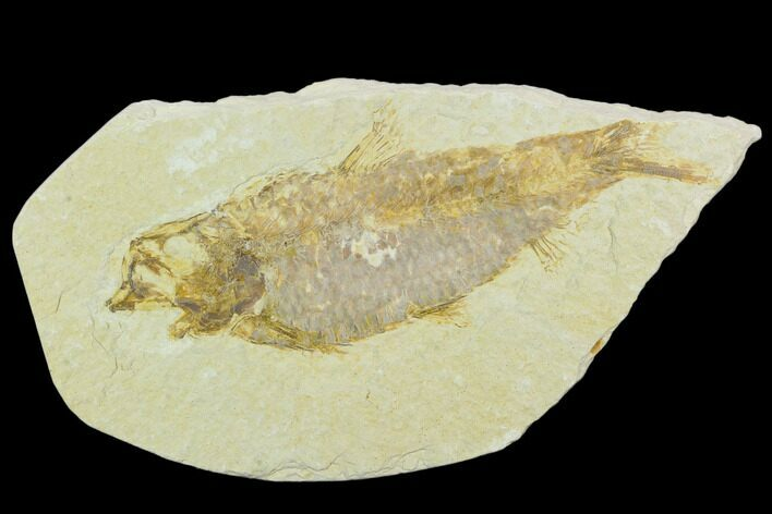 "4.6"" Detailed Fossil Fish (Knightia) - Wyoming"